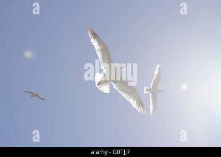 Seagulls ethereal / heavenly flight in the blue sky with sun light /flare diffusing the image from the right. - Stock Photo