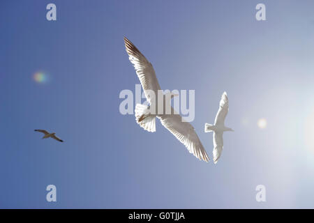 Yellow-legged seagulls flying ethereally in the blue sky with sun light /flare entering the image from the right. - Stock Photo