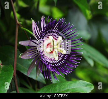 Close up of passion fruit flower, Passiflora, from Bangalore in India - Stock Photo