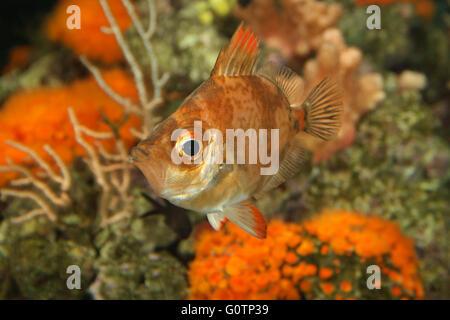 Boarfish, Boar-fish,  Eberfisch, Ziegenfisch, Capros aper in mediterranean aquarium, Emiliano Spada - Stock Photo