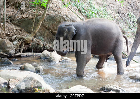 Elephant  bathing Experience at Elephant Kingdom in Chiang Rai Thailand - Stock Photo