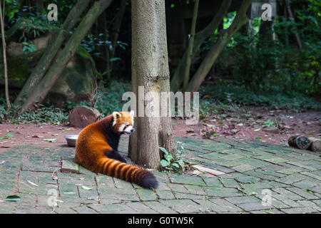 Closw view of red Red Panda (Ailurus fulgens), also called lesser panda. - Stock Photo