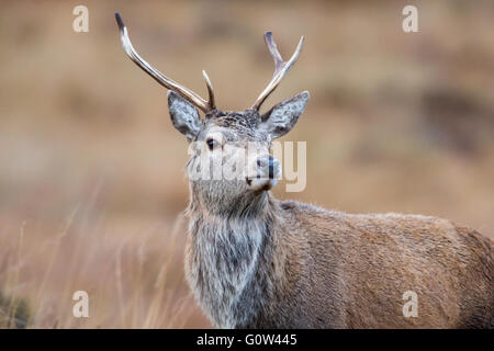 Adult male Red Deer Cervus elaphus looking at camera - Stock Photo