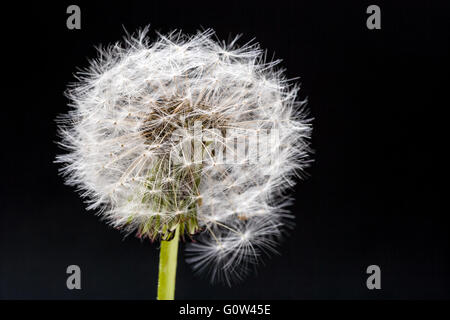 Dandelion Taraxacum officinale seed head taken against a black background in a studio - Stock Photo