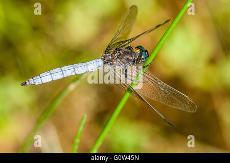 Keeled skimmer dragonfly Orthetrum coerulescens perched on reed stem - Stock Photo