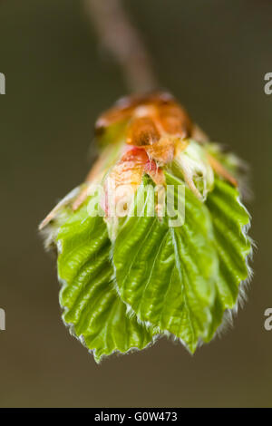 Beech tree Fagus sylvatica leaves just emerging - Stock Photo