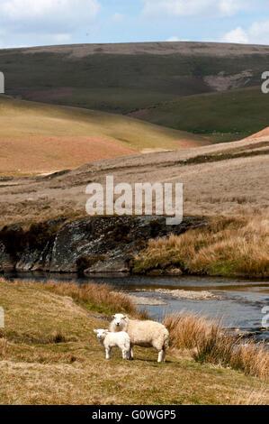 Elan Valley, Powys, Wales, UK. 5th May 2016. Ewes and lambs graze in the Elan Valley near Rhayader, Powys, Wales, - Stock Photo