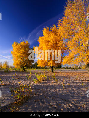 unusual tree with gold leaves in autumn - Stock Photo