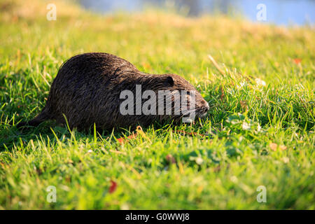 A European Water Vole (Arvicola amphibius) on the banks of a small pond in the Petit Trianon, Chateau Versailles - Stock Photo