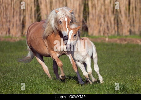 Haflinger mare and foal running in meadow - Stock Photo