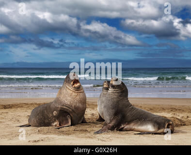 Sea lions on the beach, Cannibal Bay, New Zealand - Stock Photo