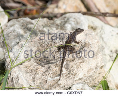 A Brown Anole pauses on a rock at Ding Darling National Wildlife Refuge in Sanibel, Florida - Stock Photo