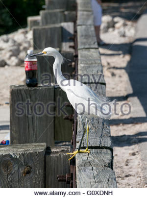 A Snowy Egret perches on a road barrier near a soda bottle at Ding Darling National Wildlife Refuge in Sanibel, - Stock Photo