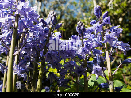Clump Forming Spanish Bluebells in Flower in an Alsager Garden Cheshire England United Kingdom UK - Stock Photo