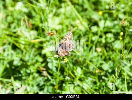 A Heath Fritillary butterfly (Melitaea athalia) resting with it's wings open - Stock Photo