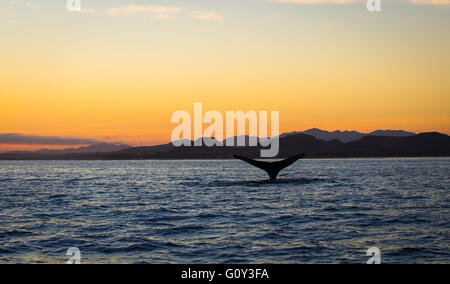 Humpback Whale Tail at sunrise, Baja California, Mexico - Stock Photo