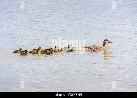 Family of mother mallard (Anas platyrhynchos) and ducklings swimming, Wildfowl & Wetlands Trust, Arundel, West Sussex, - Stock Photo