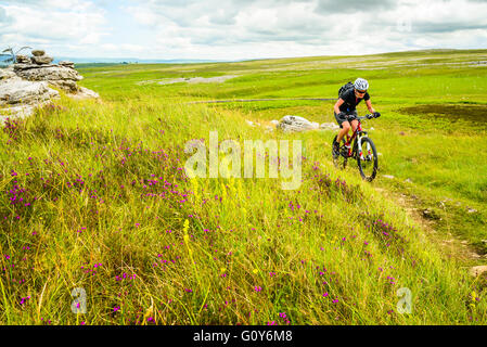 Mountain biker rides past bank of heather and other wildflowers in Great Asby Scar National Nature Reserve Cumbria - Stock Photo