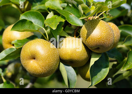 Pear, Nashi pear, Pyrus, Pyrus pyrifolia, Apple Pear, Asian Nashi Pear, Beauty in Nature, China indigenous, Colour, - Stock Photo