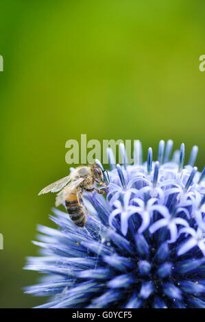 Globe thistle, Echinops, Echinops bannaticus 'Taplow Blue', Beauty in Nature, Colour, Cottage garden plant, Flower, - Stock Photo