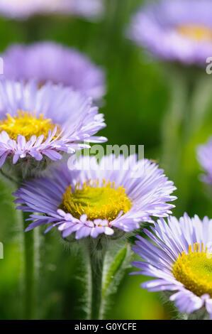 Fleabane, Pale Purple Beach Aster, Erigeron, Erigeron glaucus 'Western hills', Beach Aster, Beauty in Nature, Colour, Flower, Summer Flowering, Frost hardy, Growing, Nature, Outdoor, Perennial, Plant, Seaside daisy, Stamen, Mauve, Green,