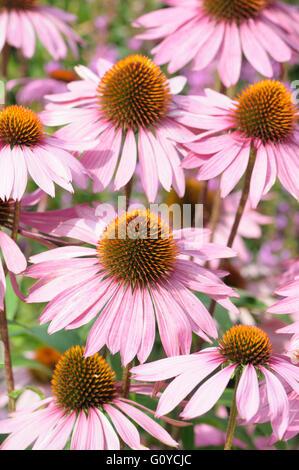 Purple coneflower, Echinacea, Echinacea purpurea 'Rubinglow', Beauty in Nature, Colour, Creative, Flower, Autumn - Stock Photo