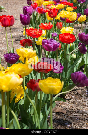 Close up of brightly coloured tulips (red, yellow and purple) planted in a row in a flower border - Stock Photo