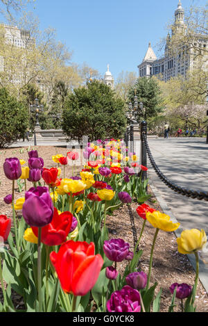 Brightly coloured purple, red and yellow tulips planted in a row along a path in City Hall Park, New York, in Spring. - Stock Photo