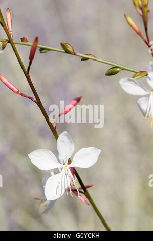 Gaura, Gaura lindheimeri 'Whirling butterflies', Beauty in Nature, Colour, Cottage garden plant, Creative, Flower, - Stock Photo