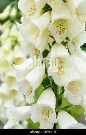 Foxglove, Digitalis, Digitalis cultivar, Beauty in Nature, Biennial, Colour, Cottage garden plant, Flower, Spring - Stock Photo