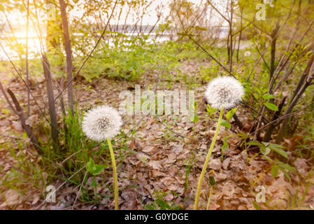 Two dandelions in the woods close to the river at sunrise during a soft spring day - Stock Photo