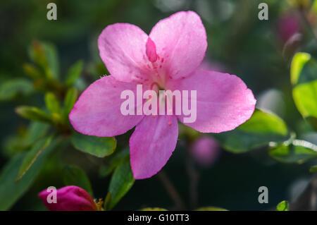 pink azalea flower close up - Stock Photo