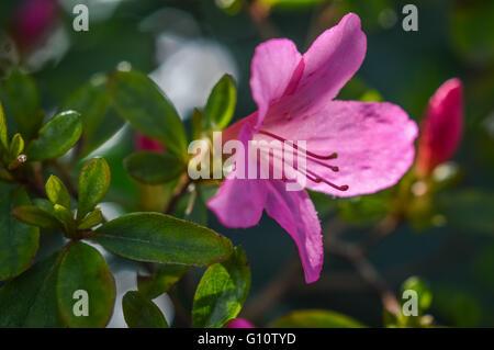 beautiful pink azalea - Stock Photo
