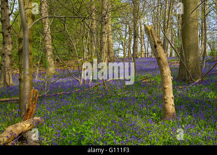 Bluebell woods at Flatford, Dedham Vale, Essex, England UK - Stock Photo