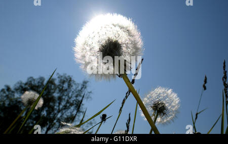 Stuttgart, Germany. 07th May, 2016. Dandelions illuminated by the sun in Stuttgart, Germany, 07 May 2016. Photo: - Stock Photo