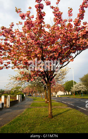 May flowering Cherry trees on Preston New Road with petals after overnight rain. leaving a carpet of pink to be - Stock Photo