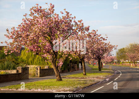 May flowering Cherry trees on Preston New Road starting to shed their petals after overnight rain. leaving a carpet - Stock Photo