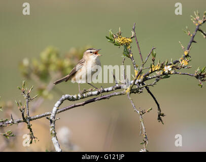 Sedge warbler Acrocephalus schoenobaenus singing on territory - Stock Photo