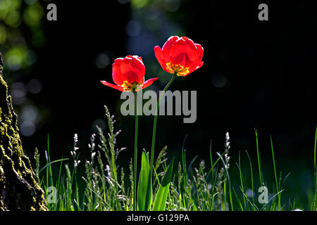Red Tulip garden flowers ( Tulipa sp.)  back lit - Stock Photo