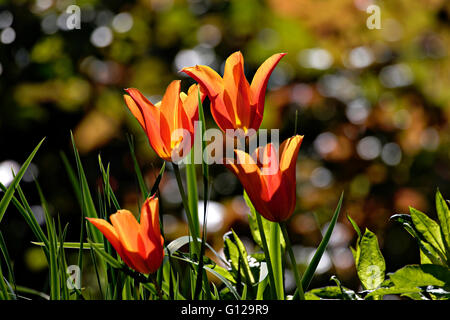 Orange Tulip garden flowers ( Tulipa sp.)  backlight - Stock Photo