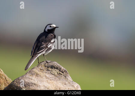Pied wagtail on a gritstone wall, Yorkshire, England, UK - Stock Photo