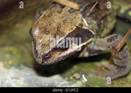 Common English frog rana temporaria in a garden pond - Stock Photo
