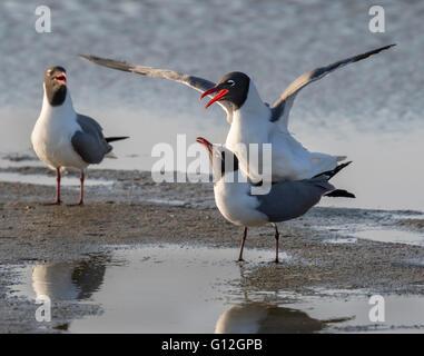 Mating laughing gulls (Leucophaeus atricilla) at the ocean beach, Galveston, Texas, USA. - Stock Photo