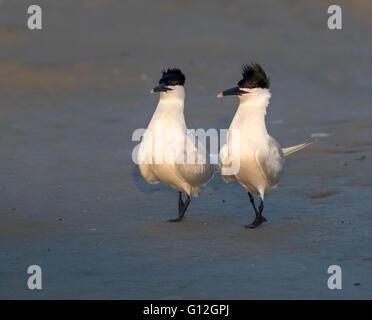 Courtship display of Sandwich terns (Thalasseus sandvicensis) at the ocean beach, Galveston, Texas, USA. - Stock Photo
