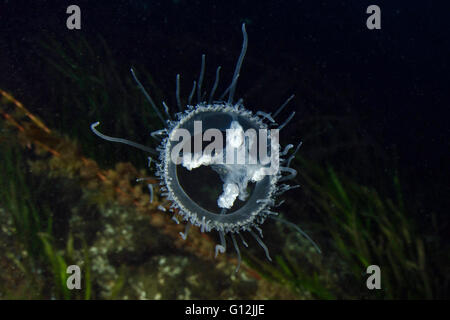 Freshwater Jellyfish, Craspedacusta sowerbii, Lake Lugano, Switzerland - Stock Photo