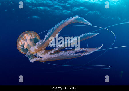 Mauve Stinger Jellyfish, Pelagia noctiluca, Santa Maria, Azores, Portugal - Stock Photo