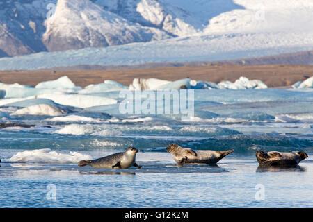 Seals at Joekulsarlon Glacial River Lagoon, Phoca vitulina, Vatnajoekull National Park, Iceland - Stock Photo