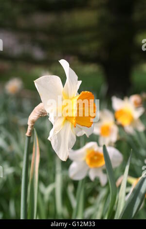 Yellow and white daffodils in a garden - Stock Photo