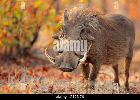 Warthog (Phacochoerus africanus) in natural habitat, Kruger National Park, South Africa - Stock Photo