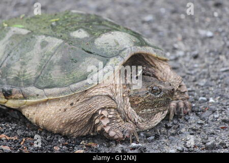 Snapping turtle (Chelydra serpentina) crossing a country roadway. They are found throughout most of the southern - Stock Photo